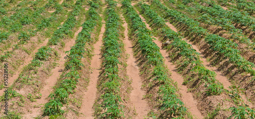 Row of cassava plantation