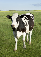 Holstein dairy cow standing in a field of grass