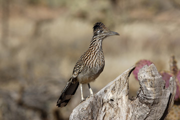Greater roadrunner, Geococcyx californianus