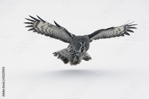 Staande foto Uil Great-grey owl, Strix nebulosa