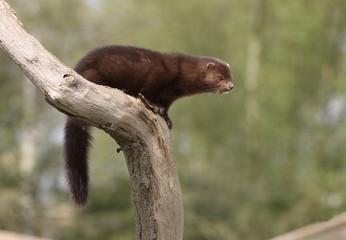 American mink, Mustela vison
