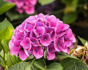 Pink and blue flowering Hydrangea plant
