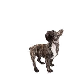 Französische Bulldogge Schulterblick