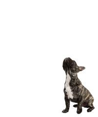 Französische Bulldogge guckt hoch
