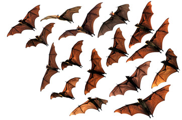 Colony of flying fox fruit bats in sky
