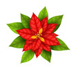 Red Christmas Star flower poinsettia isolated on white