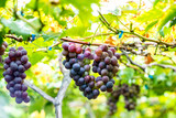 pick up ripe grape in the Vineyards