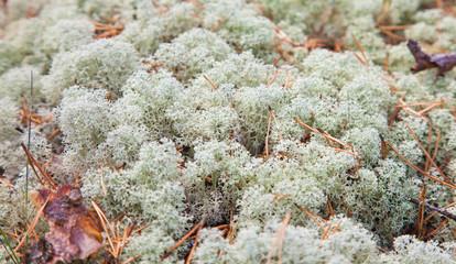 reindeer lichen;
