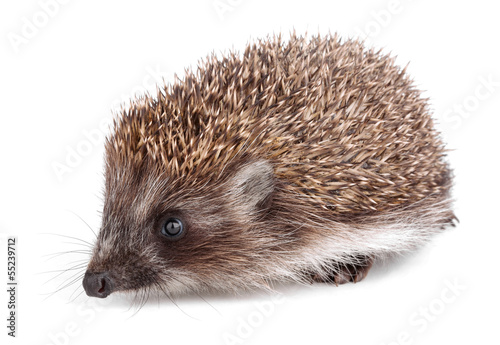 Small hedgehog in front isolated on white
