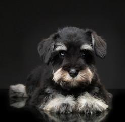 Silver miniature schnauzer puppy