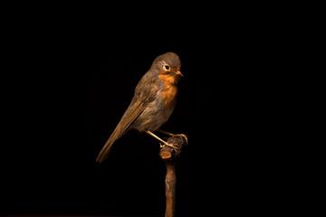 Taxidermy robin on black background