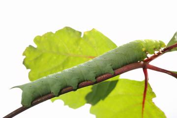 Caterpillar on green leaf.