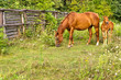 American Quarter Horse mare with foal