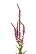 Blut-Weiderich (Lythrum salicaria) vor weißem Hintergrund