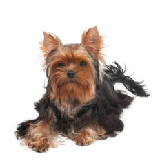 One Yorkshire Terrier with curly hair