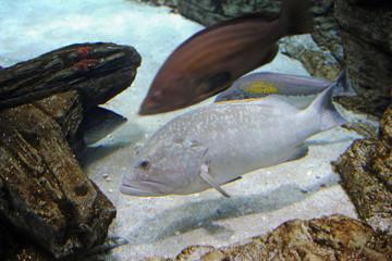 Mérou brun (Epinephelus marginatus) à l'aquarium de Colónia de S