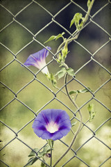 Morning glory on wire fence