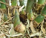 Shoot of Bamboo