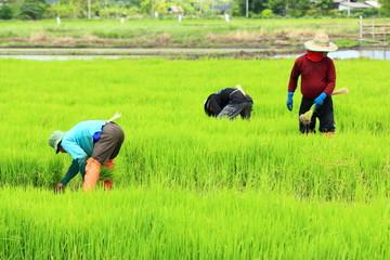 farmer working rice plant  in farm of Thailand