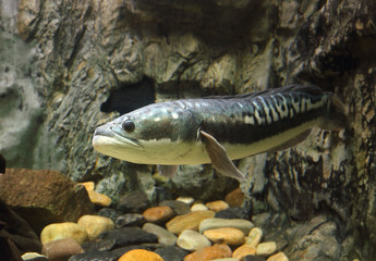 fish Great snakehead.(Channa micropeltes)