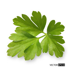 Parsley herb isolated on white background. Vector illustration.