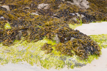 Atlantic algae