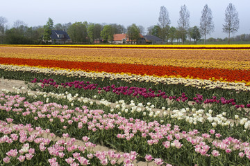Colorful fields with tulips in the Netherlands