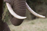 African elephant tusks with wearing signs poster