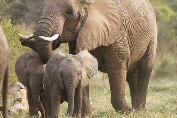 Elephant mother with cubs