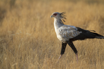 Secretary bird walking in yellow grass