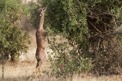 Foto op Canvas Antilope Gerenuk antelope browsing bush