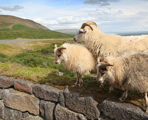 Icelandic Sheep Roaming the Countryside in the Summer