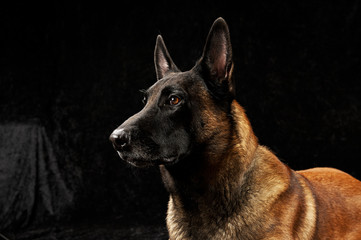 Pure breed malinois on black background