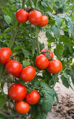 growth tomatoes
