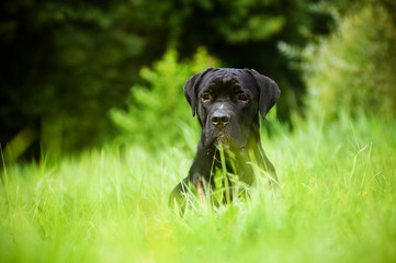 serious cane corso dog lying in the grass