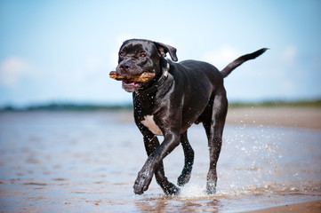 happy cane corso dog on a beach