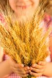 Yellow wheat ears in hands
