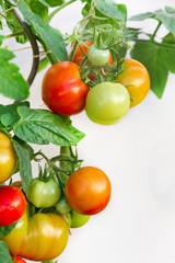Tomatenstaude - verschiedene Reifestadien