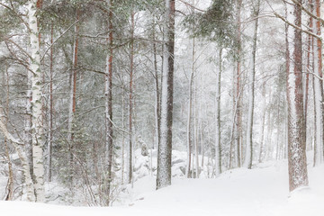 Winter forest with tall trees