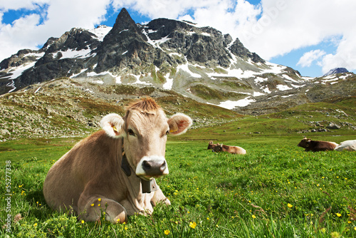 Leinwanddruck Bild Brown cow on green grass pasture