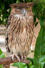 Brown owl close up