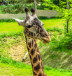 Isolated giraffe head against natural background at the zoo