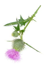 Milk Thistle (Silybum Marianum) with Pink Flower on White