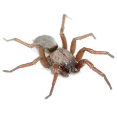 Spider (Haplodrassus Signifier) Isolated on White Background