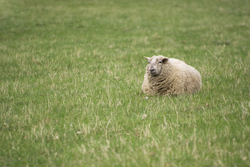 Small lying sheep