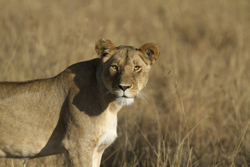 Lonely lioness in the evening light