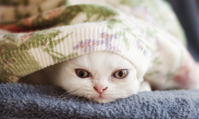 Adorable white Persian kitten peeking from under the blanket