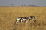 Zebra and manned ballons in Serengeti Mara ecosystem poster