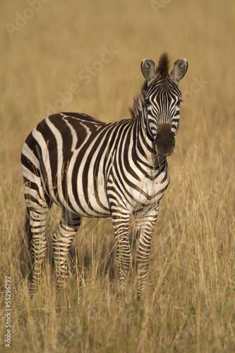 Fototapeta Zebra standing in dry grass