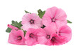 Lavatera beautiful pink flowers isolated on white background